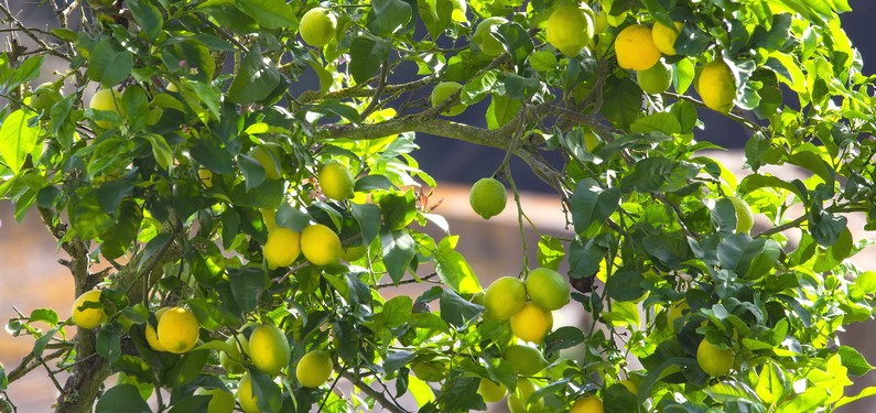 Quels sont les bienfaits du citron sur l'organisme et plus particulièrement dans la perte de poids ?